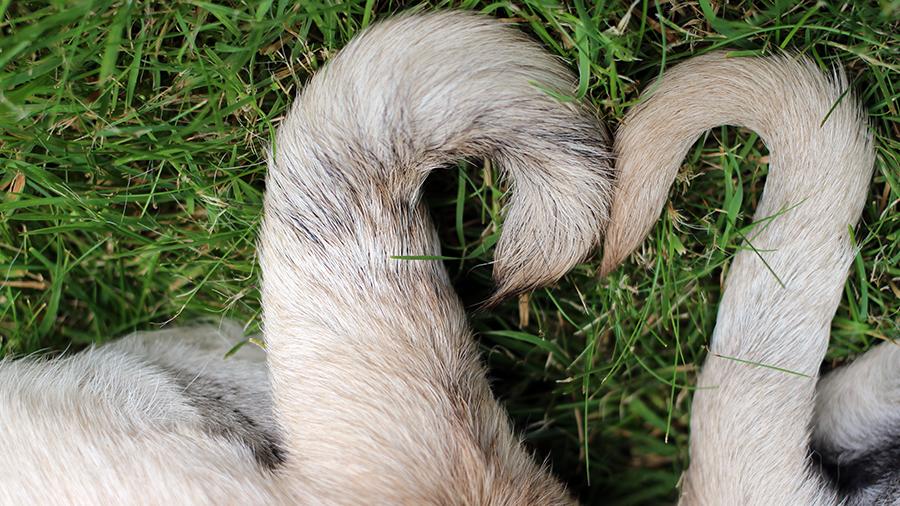Por que os rabos dos cães eram cortados?