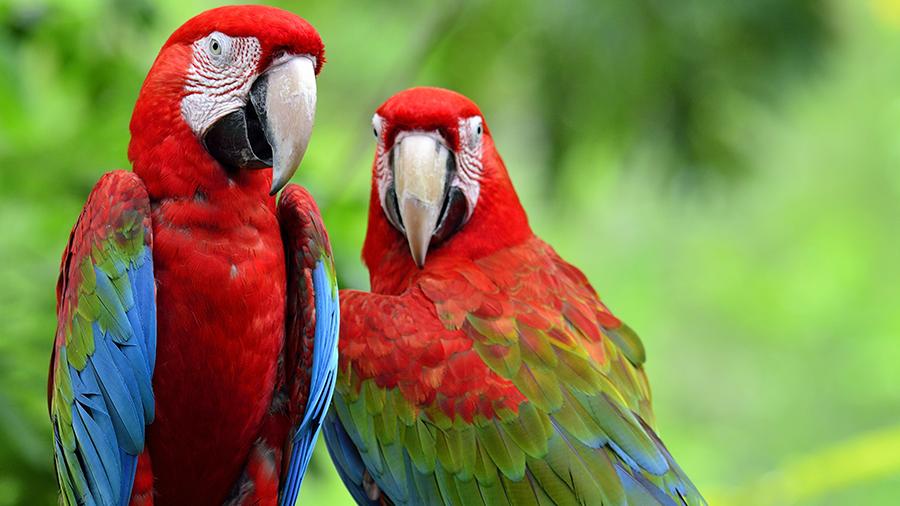 arara-vermelha-asa-verde