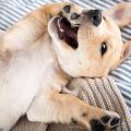 cachorro-patinha