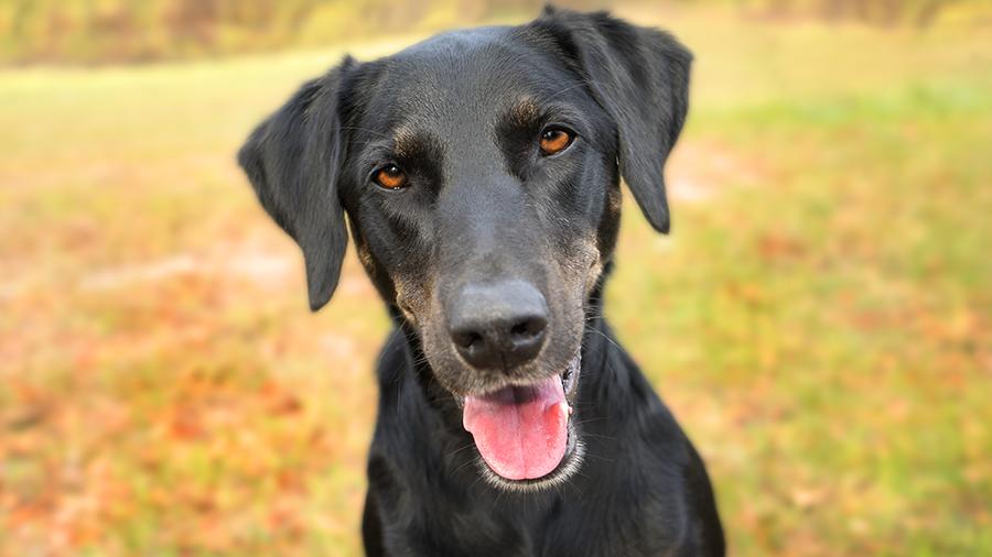 cão senior