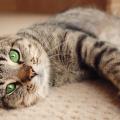 gato-rajado