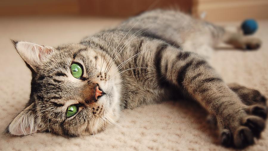 Doença renal em gatos: o que é, quais os sintomas e como tratar