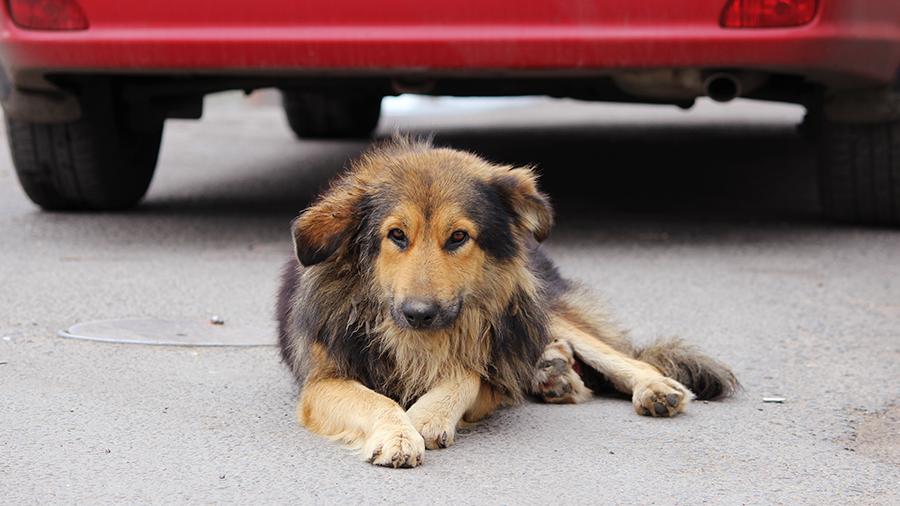 cachorro e carro