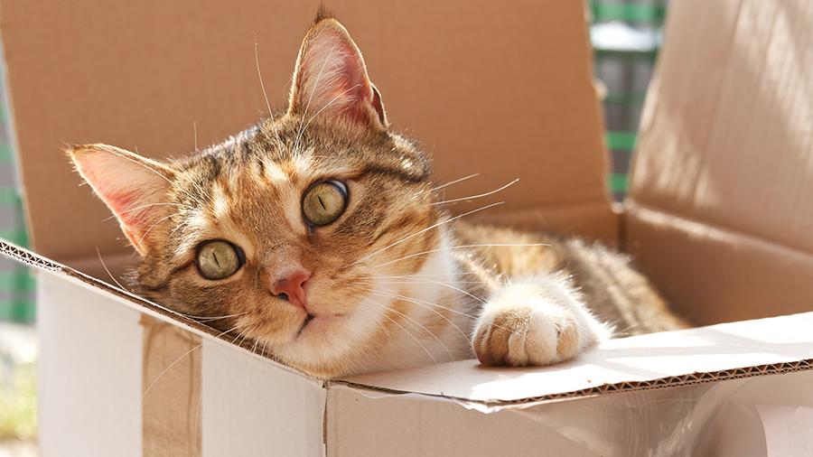 gato dentro da caixa