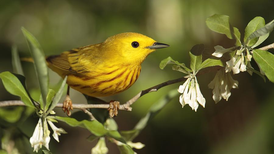 passarinho amarelo