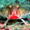 fish-bat red lips