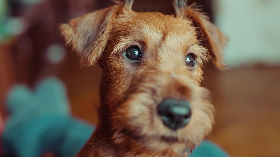 Como cuidar direitinho dos olhos do seu cão