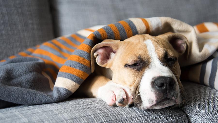 Streptococcus: como manter seu cão longe destas bactérias!