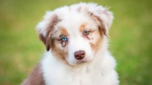 cachorro-heterocromia