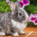 coelho-filhote
