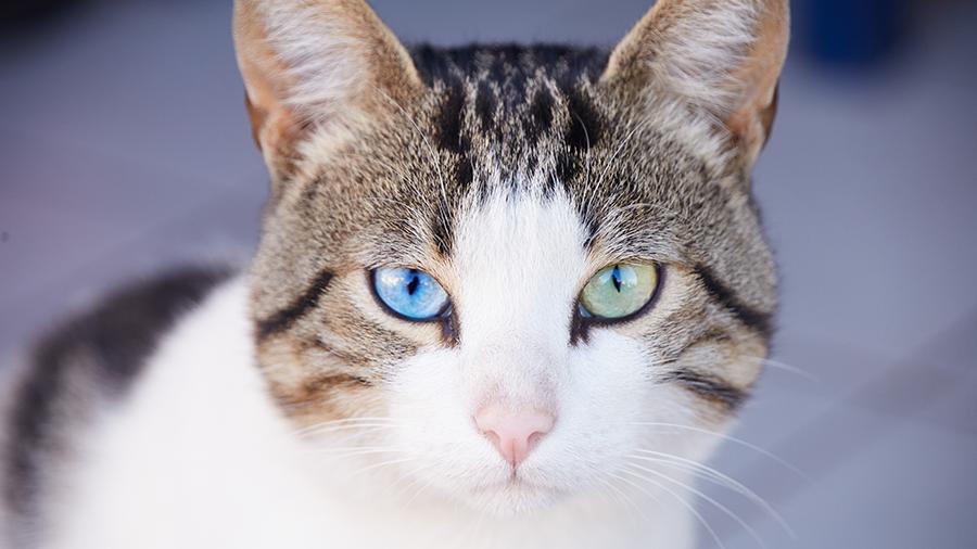gato-heterocromia