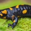 salamandra-amarela