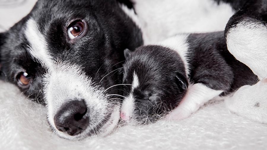 Como ajudar no parto de uma cachorrinha?