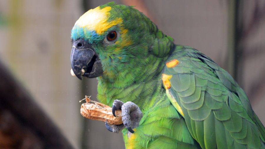 aves-micoplasmose_DOMINIO-PUBLICO