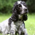 cocker-spaniel_DOMINIO-PUBLICO