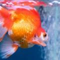 peixe-aquario_FREEPIK