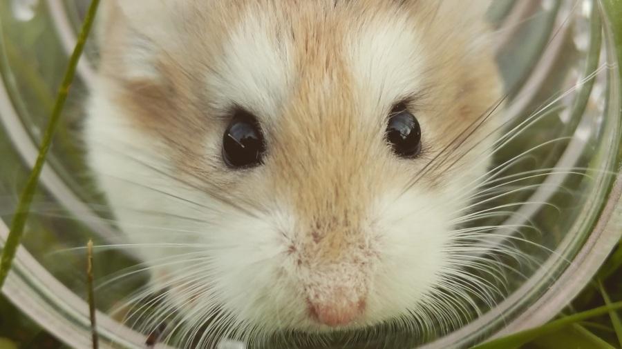 hamster_2_DOMINIO_PUBLICO