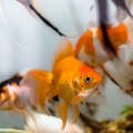 peixe-gravida_DOMINIO_PUBLICO