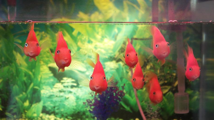 peixe-aquario_DOMINIO-PUBLICO