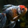 peixe-tumor_DOMINIO-PUBLICO