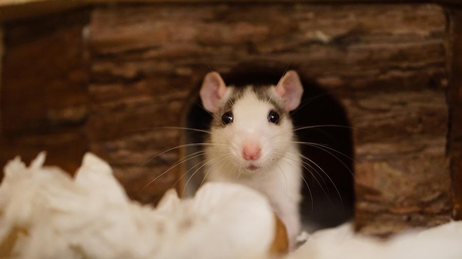 rato-toca_DOMINIO-PUBLICO