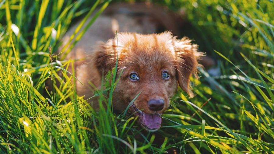 cachorro-grama_DOMINIO-PUBLICO