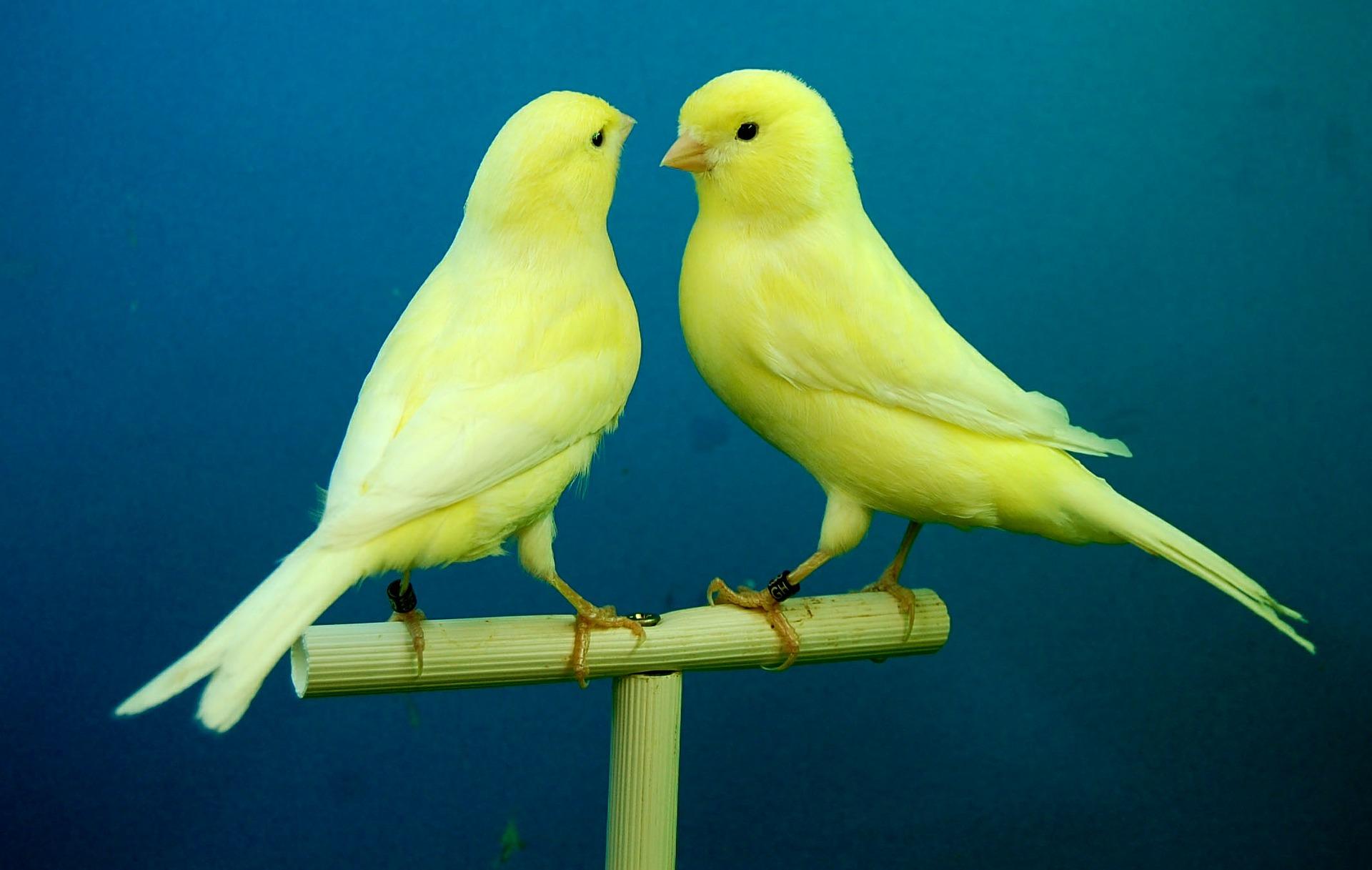 canarios_casal_2_dominio-publico