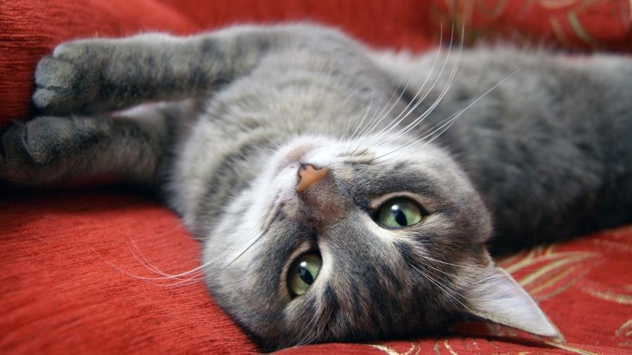 gato-alergia_DOMINIO-PUBLICO