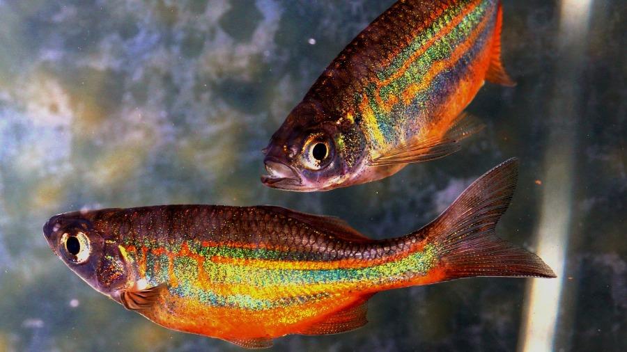 peixes_danio_DOMINIO-PUBLICO