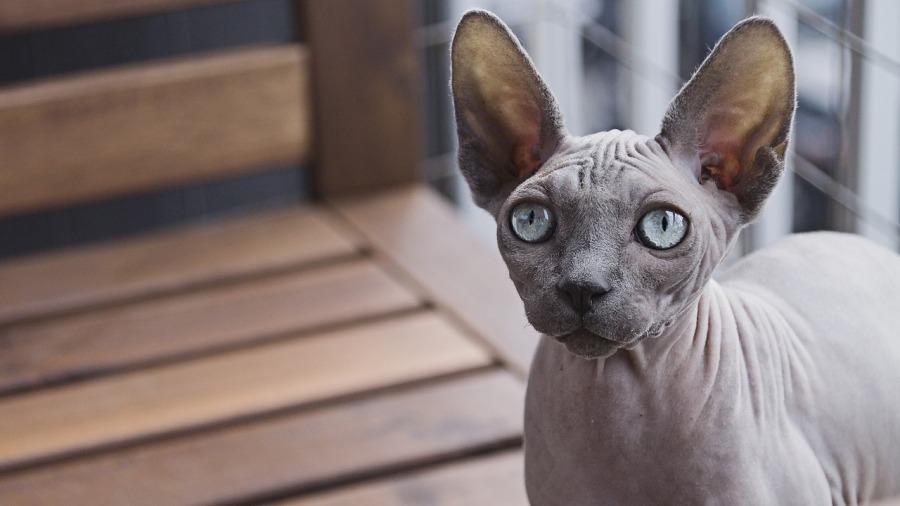 gatos-pelados_DOMINIO-PUBLICO