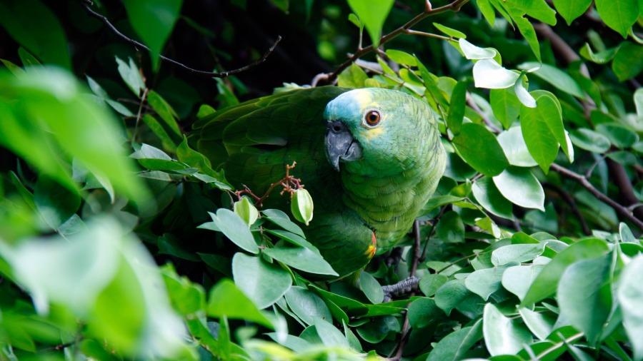 papagaio-doente