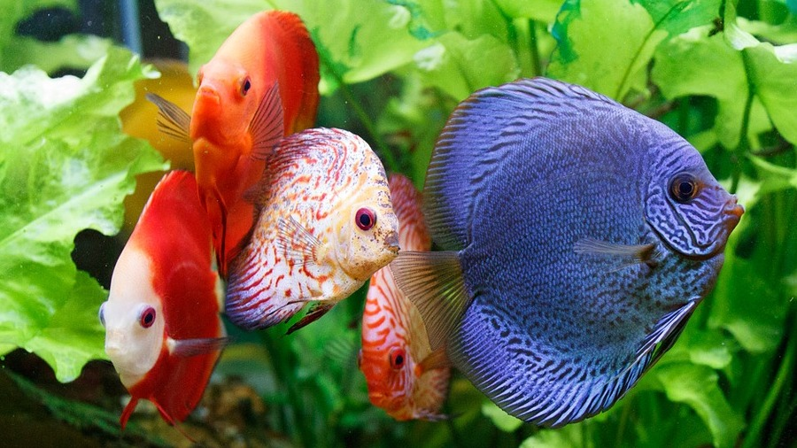 peixe-colorido_DOMINIO-PUBLICO