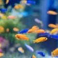 peixes_brigoes