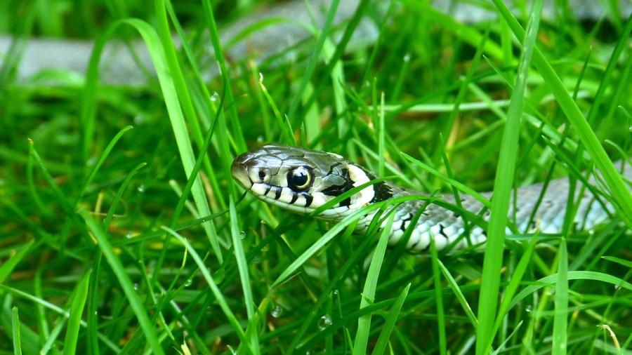 Encontrei uma serpente! Ela pode ser meu pet?