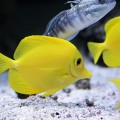 yellow-tang_DOMINIO-PUBLICO