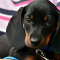 cachorro-latido_DOMINIO-PUBLICO