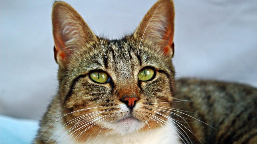 clamidiose-gato_DOMINIO-PUBLICO