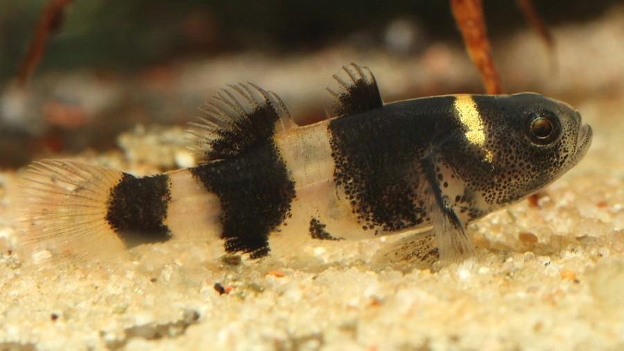 peixe-abelhinha_DOMINIO-PUBLICO