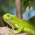01_08_Iguana e baixas temperaturas