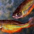 Peixe ornamentais_Danio
