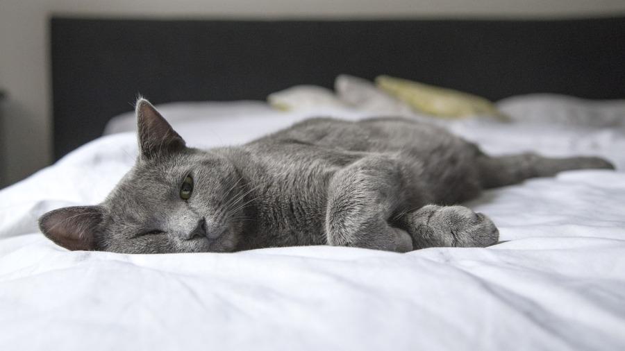 gato-febre_DOMINIO-PUBLICO
