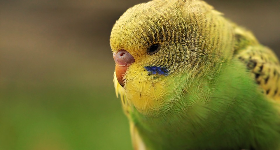 how to tell a male budgie