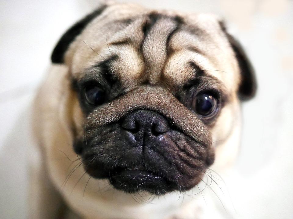 Cachorros de focinho achatado têm problemas respiratórios?