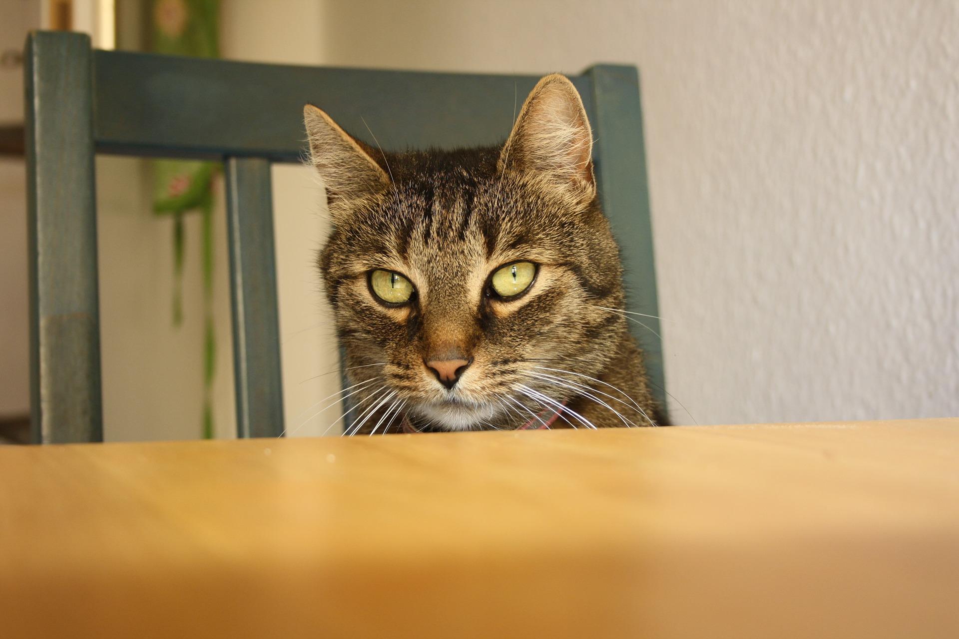 gato-mesa