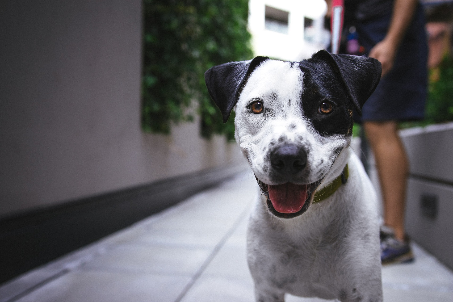 dog-adestra