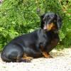 dachshund-123504_1920