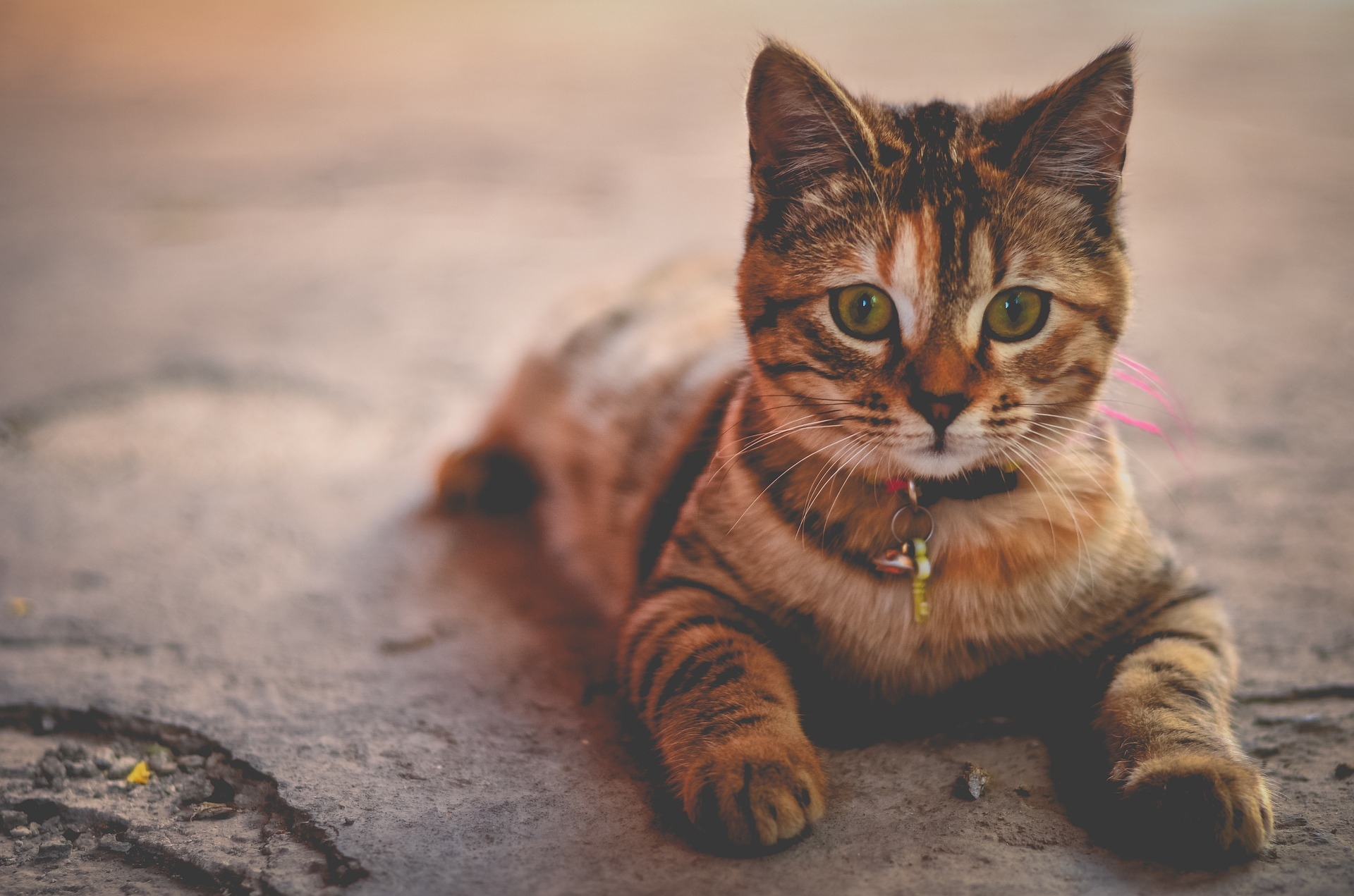 O que é a Federação Internacional Felina e como funcionam as classificações de gatos