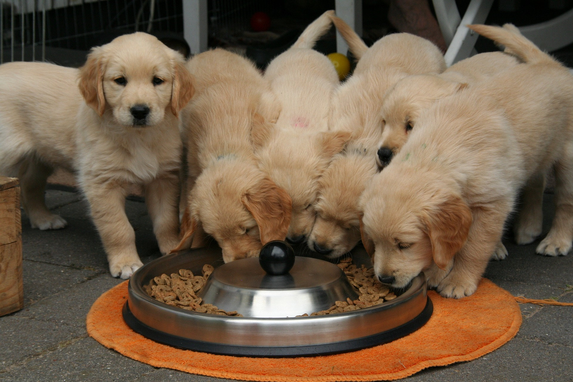 golden-retriever-puppy-2706672_1920