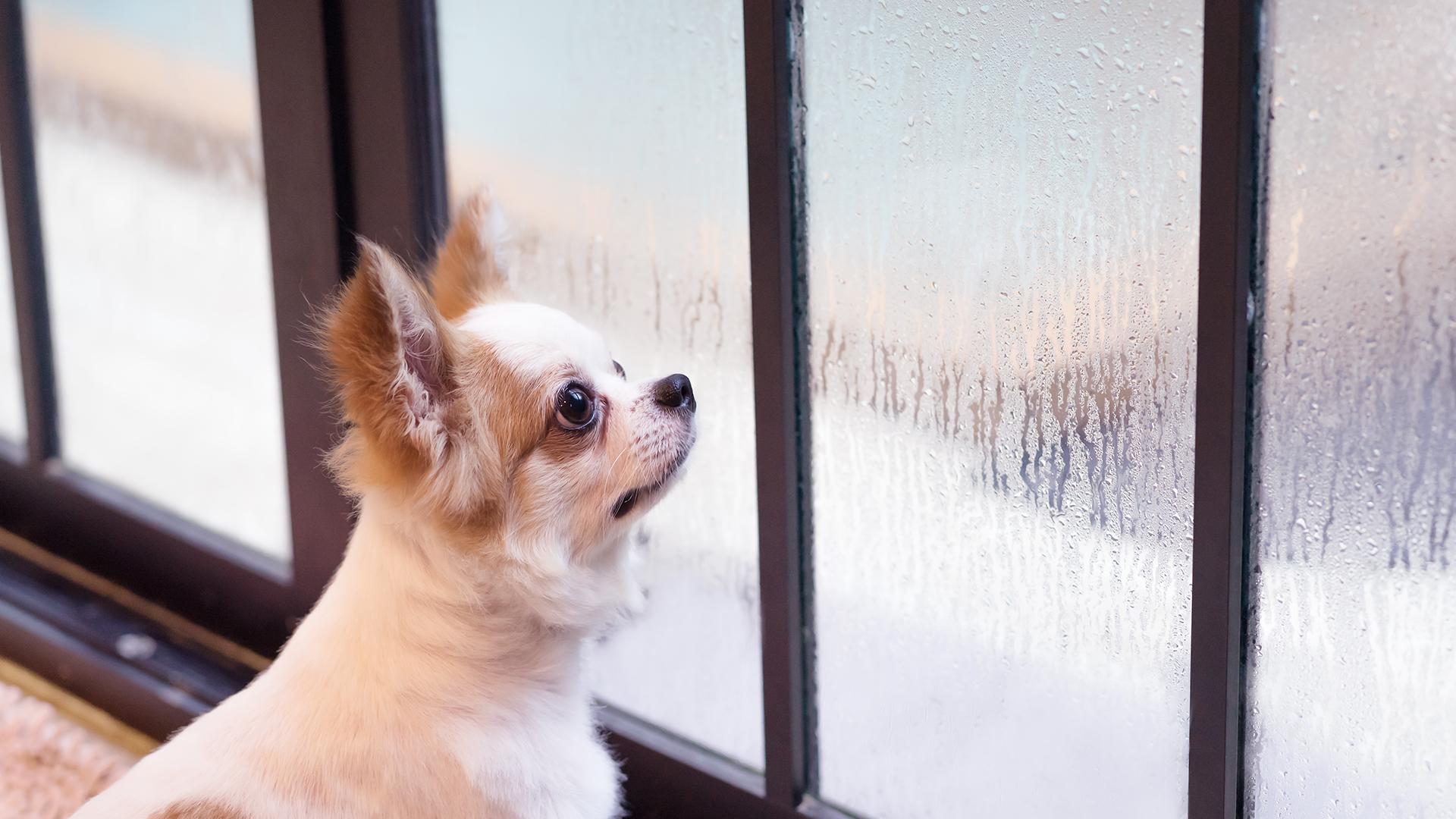 Raios e trovões: O que fazer se seu cãozinho morre de medo de chuva?