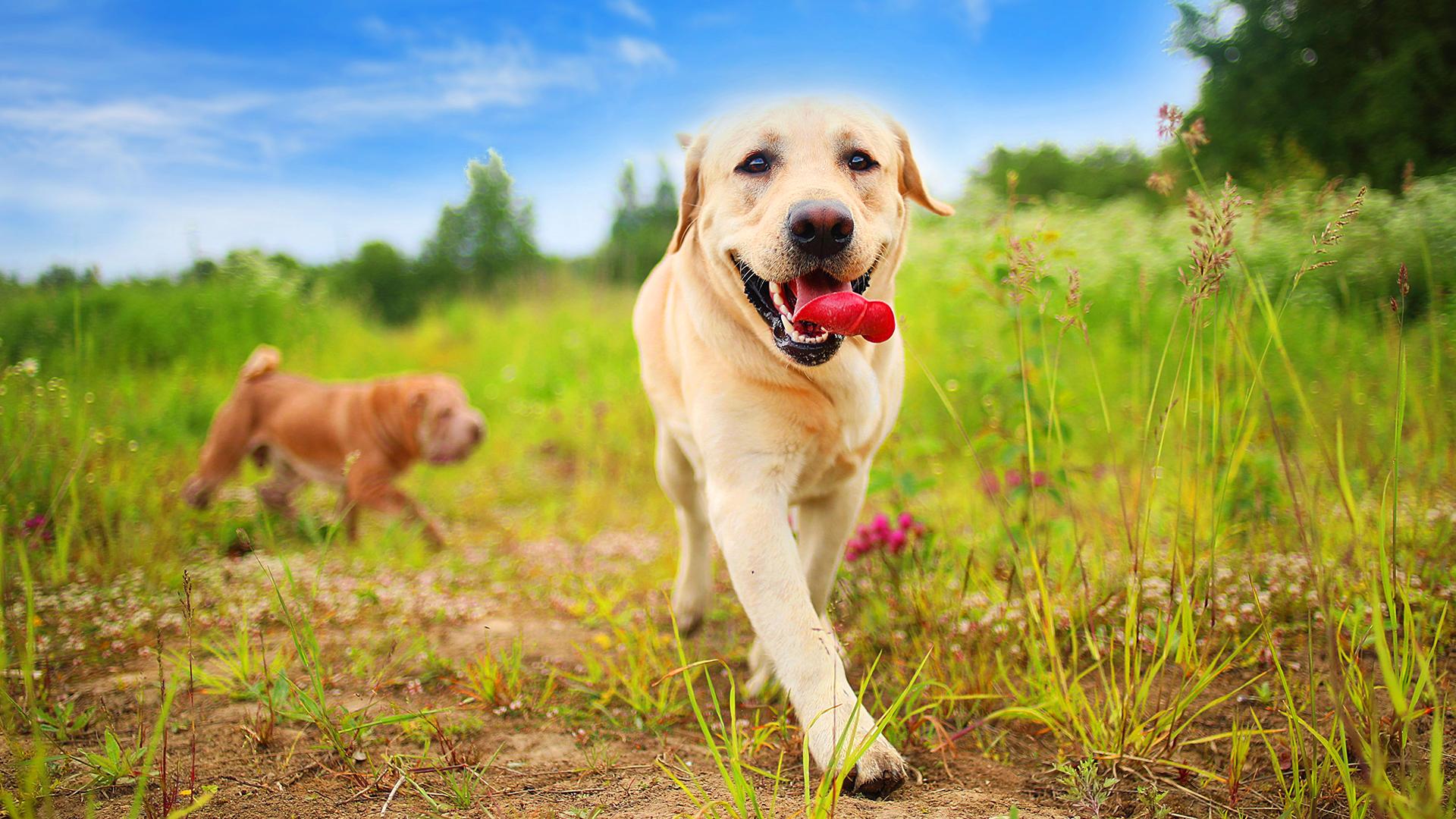 Qual a importância em criar cães de raça?